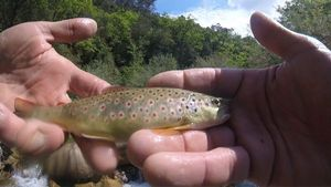 Brown Trout — Gilles Anguenot