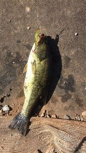 Largemouth Bass — Hard Teck