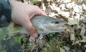 Brown Trout — Thomas RIGAL