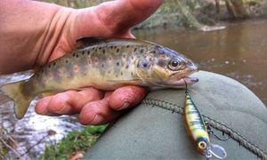 Truite Fario — Douving Fishing