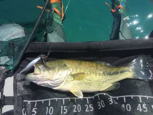 Largemouth Bass — Xavier Schneider