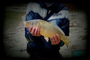 Common Carp — Nicolas Perot