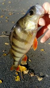 European Perch — Jimmy Bernard