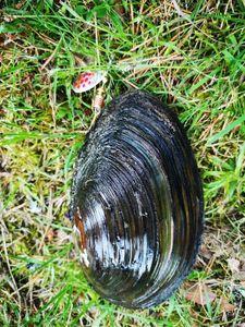 Blue Mussel — Simon PECOUT