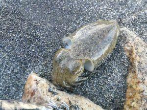 Common Cuttlefish — Dume  Tomasi