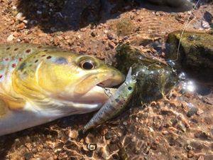Common Trout — David Pierron