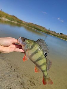 European Perch — Victor Damin (CarcaFishing)