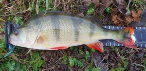 European Perch — Joseph Desanglois