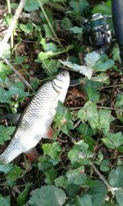 Chub — Kr Fishing