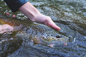 Brown Trout — Hugo Granjon mdlt