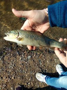 Brown Trout — Lucas Fishing
