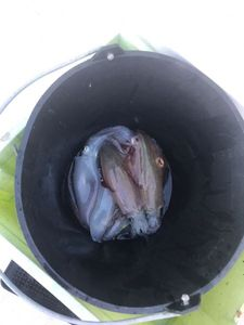 European Squid — Johann Leux