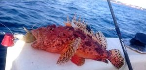 Red Scorpionfish — Sebastien Fisher