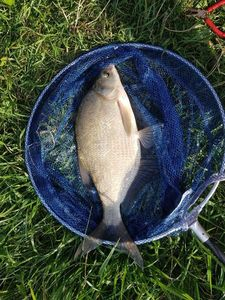 Common Bream — Mathieu Golay