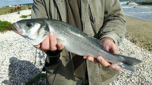European Bass — Domagala  Philippe