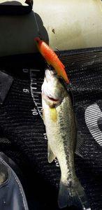 Largemouth Bass — Gwen Naud