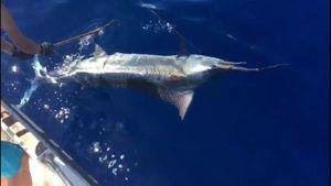 Blue Marlin (Pacific) — Mathias Larrieu