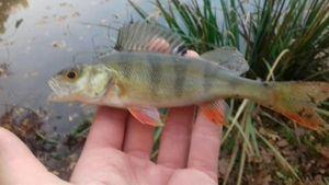 European Perch — Thomass Fishing