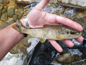 Brown Trout — Thibault  Dominguez
