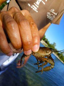 Spinycheek Crayfish — Dorian Raoux