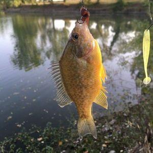 Green Sunfish — Jordan Meilhan