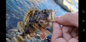 Brown Scorpionfish — Pierre MORTAS