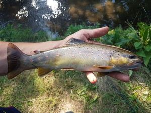 Brown Trout — Arthur Chochon