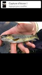 Brown Trout — Maxime  Jaffuel