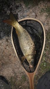 Common Carp — Adrien Lieuron