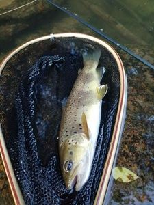 Brown Trout — Clém Flyfishing