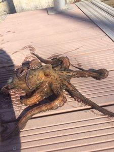 Common Octopus — Fishing Porquerolles