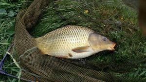 Common Carp — Patrick Guillet
