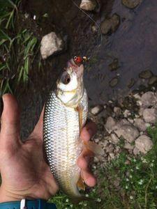 Roach — Fishing Porquerolles