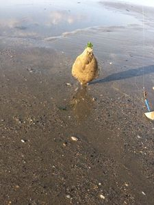 European Flounder — Kevin Mohier