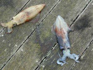 European Squid — Vincent Begey