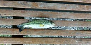 Largemouth Bass — Joseph Cheval