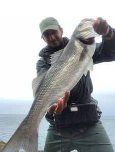 European Bass — Labarakabars Labarakabars