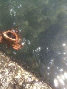 Brown Scorpionfish — Romain Zeitlin