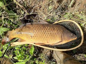 Common Carp — Adrien Lieuron