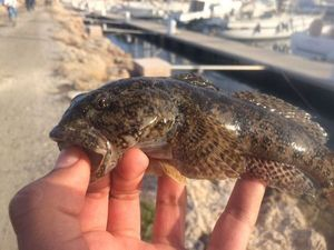 Giant Goby — Fishing Porquerolles
