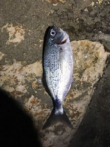 Saddled Seabream — Paul Pierre