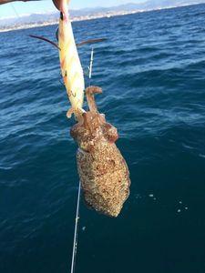 Common Cuttlefish — Cedric surgelés