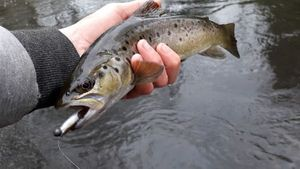 Brown Trout — Erwan Fishing