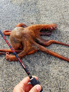 Common Octopus — Sebastien Fisher