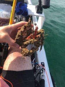European Spider Crab — Sebastien Guerard