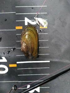 Blue Mussel — MICKAEL HUCTEAU