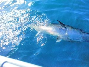Bluefin Tuna — Cédric Pstk