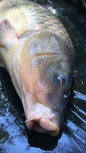 Common Carp — Kevin Fourniat