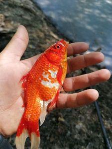 Goldfish — Olivier fiching treize