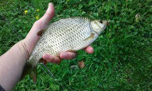 Rudd — Kr Fishing